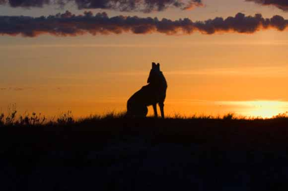 Coyote howling at twilight