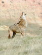 Coyote Howling and Yipping