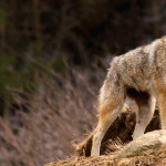 Coyotes Are Fearing Humans Less