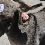 Oatman Arizona Donkey Sticker Don't Feed Me I Will Choke